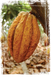 equateur-cabosse-cacao
