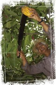 equateur-ceuillette-cabosse-cacao-2