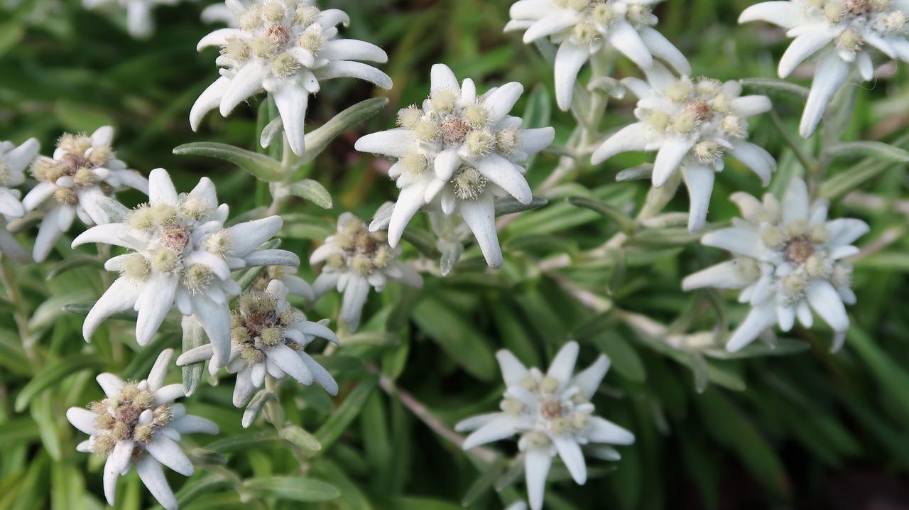 edelweiss-2641490_1280